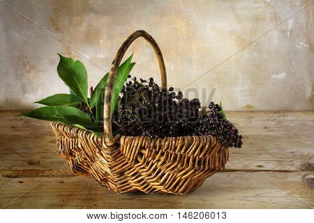 black elderberries (Sambucus nigra) freshly harvested in a basket on a rustic wooden table against a vintage wall with copy space