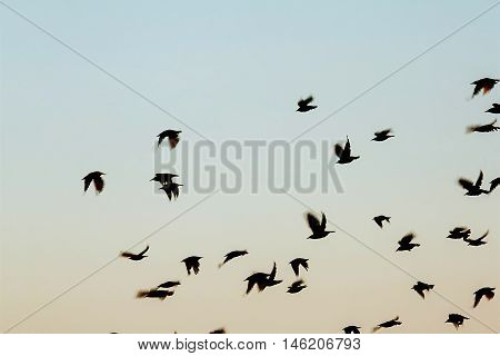 Bird silhouette swarm black flying on a blue sky background