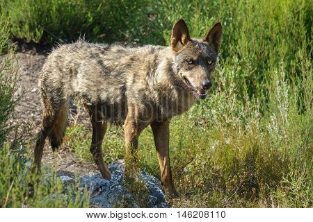 Whole wet Canis Lupus Signatus over the woods