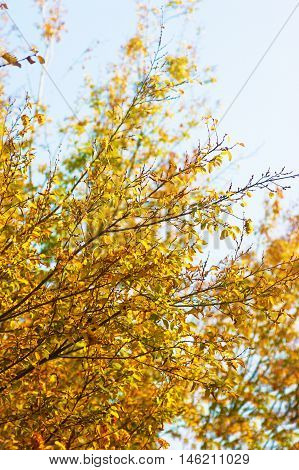 Branches of a tree with bright yellow leaves