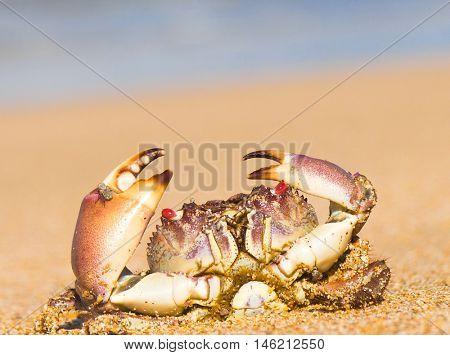 Pure Threat Funny Crab