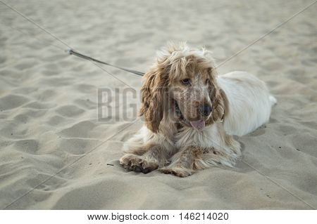 English cocker spaniel on the beach in the evening