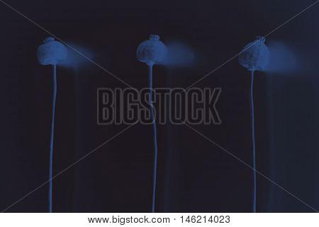 Still life- invert blue poppies on dark background