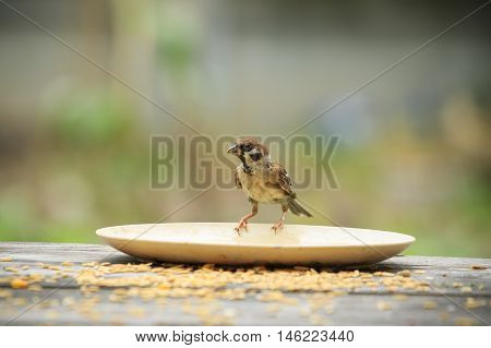 front view of full body eurasian tree sparrow with green blur background