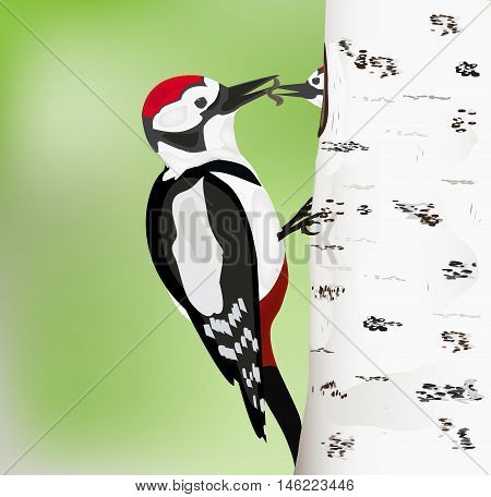 woodpecker femail feeding its young  in the nest vector