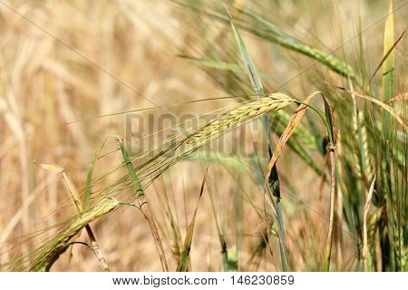 background of growing in a field spikelets of cereals / cereal crop ripening