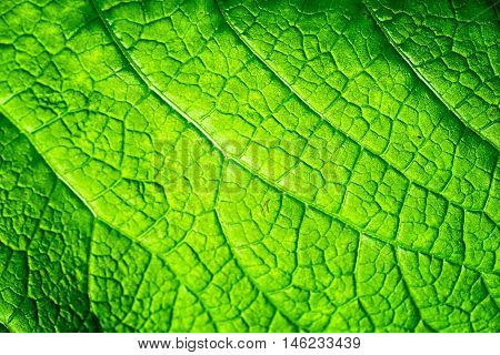 Close up texture of a viens in a green leaf