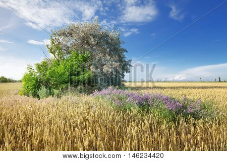 tree in a wheat field / bright flight landscape of natural beauty