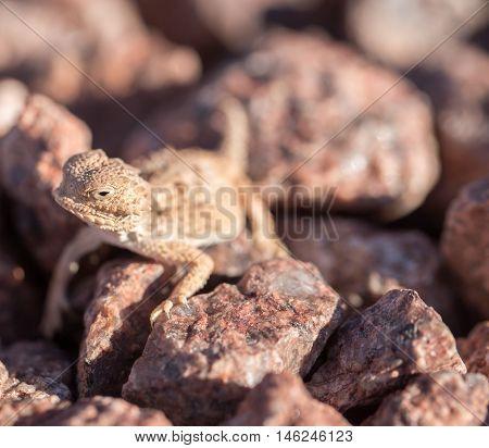 Desert Horned Lizard (Phrynosoma platyrhinos) looking with cautious.