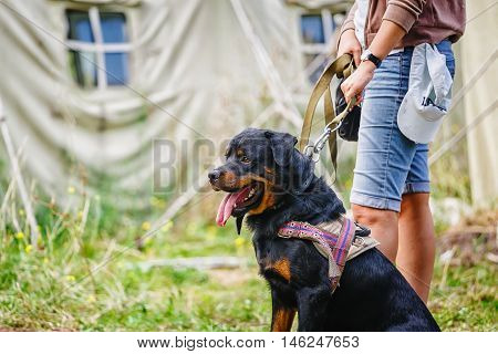 The portrait of a sit Rottweiler dog at camp background