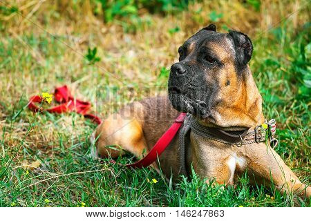 Brown Cane corso italiano lying on the green grass