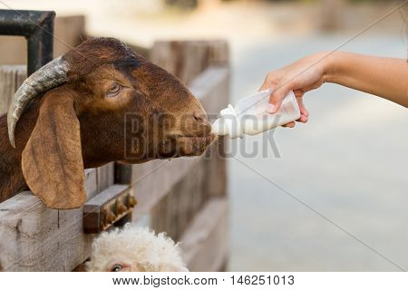 Goat feeding. Close up child feeding milk bottle to cute Goat