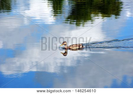 Duck may be in water but with the reflection of the blue sky and clouds this female Mallard appears to be flying.