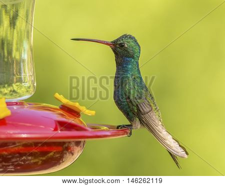 A beautiful and vibrant colored male Broad-billed Hummingbird perches on the edge of a feeder in a southern Arizona garden.