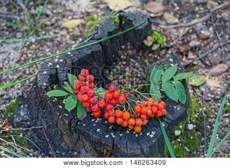 Red rowan berries on an old tree stump. Nature