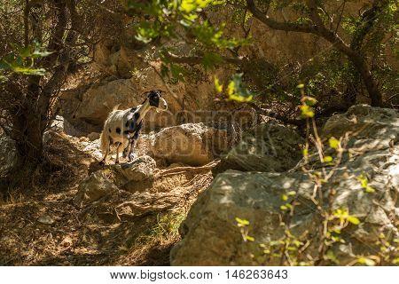 Crete, Greece: a goat in forest ofPalm Bay, famous touristic destination