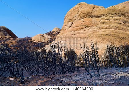 Charcoaled chaparral plants which were burned from the Blue Cut Fire taken at the sandstone Mormon Rocks in Cajon, CA