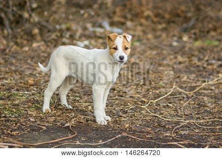 Portrait of adorable mixed breed puppy on first duty watching the enemies.