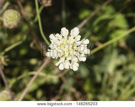 Cream Pincushions or Scabious Scabiosa Ochroleuca flower close-up selective focus shallow DOF