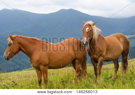 Two horses standing in the field and mountains and look forward. Wild horses in the Carpathians Ukraine Carpathian landscape.