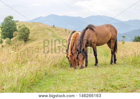Wild horses eating grass in the Carpathians Ukraine Carpathian landscape