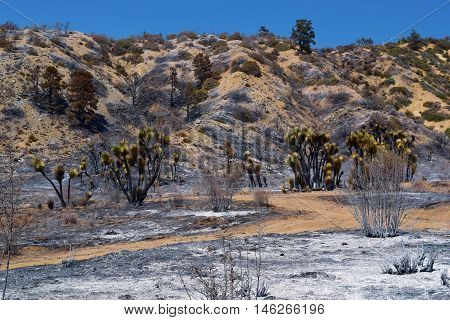 Fresh layer of ash amongst burnt Joshua Trees taken after a wildfire