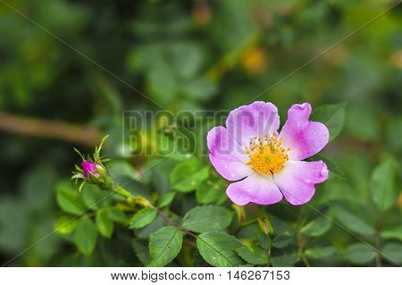 Flower of pink dog-rose closeup on a green garden background