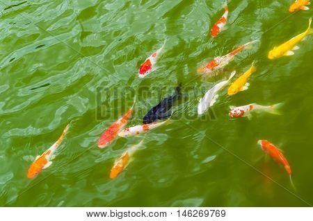 colorful carp fish swiming in green water