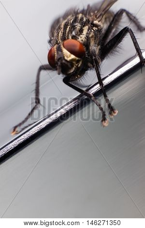 Close up of a fly. Common house fly.
