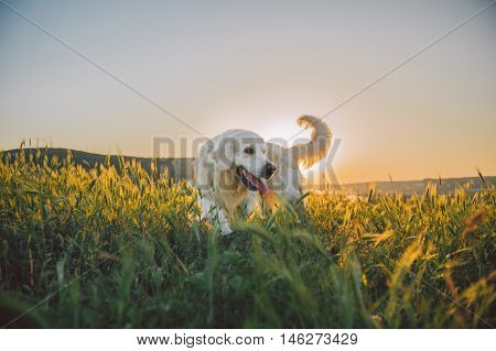 Young dog golden retriever walking in a green field in summer. Sunset.