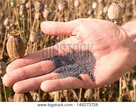 Man Hand Open Poppy Head In Field. Check Of Poppy Quality.