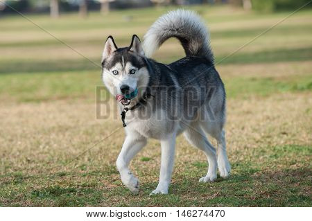 Black and white Siberian Husky running across grass while looking to right.