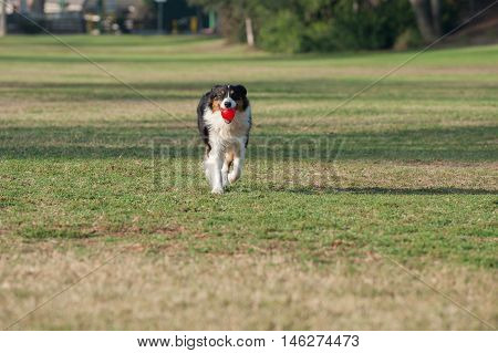 Red Merle Australian Shepard running across grass while holding ball in mouth.