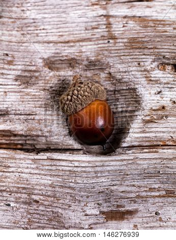 Close up view of seasonal autumn acorn inside of hole of driftwood. Selective focus on single acorn front. Vertical layout.