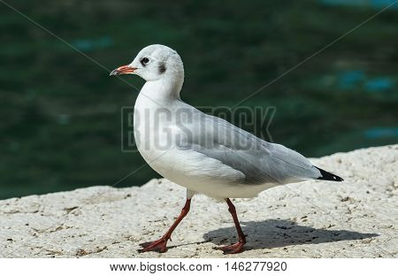 Black-headed Gull, Chroicocephalus ridibundus-photo of young bird walking on the edge with water in background