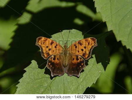 An Eastern Comma (Polygonia comma) butterfly, basking in the sun on a leaf.  Photographed along Big Sandy Creek, Lake Ontario NY, USA.