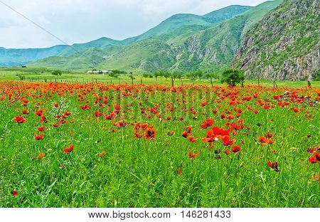 The red poppies in tall grass softly sway in the wind among the great mountains of Caucasus Samtskhe-Javakheti Region Georgia.