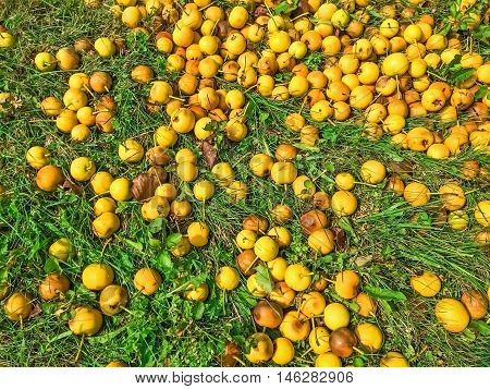Fallen ripe yellow apples in green grass. Autumn background.