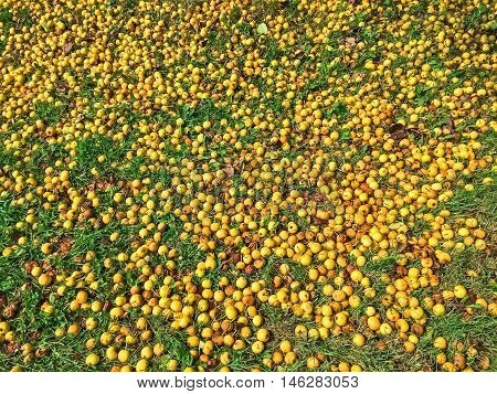 Many fallen yellow apples in green grass. Autumn background.