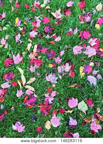 Red and purple maple leaves on the grass. Autumn background.