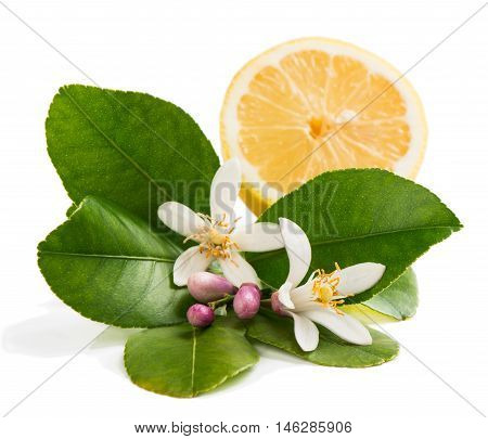Lemon blossom with green leaves and half of lemon fruit isolated on white background.