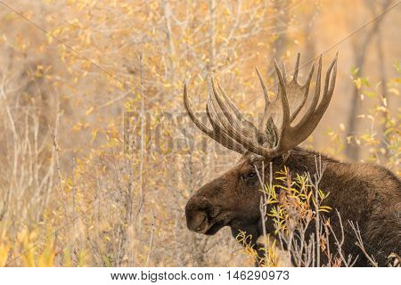 a big bull moose in fall in wyoming