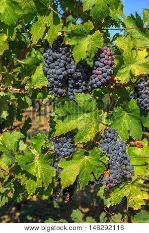 Close up of red grapes on the vine in Napa Valley, California. Napa Valley is the main wine growing region of the United States and one of the major wine regions of the world.