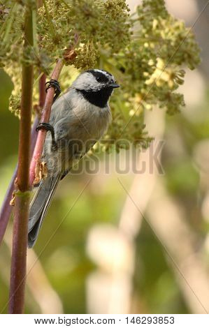 Mountain Chickadee Grasping Flower Stalk In New Mexico.