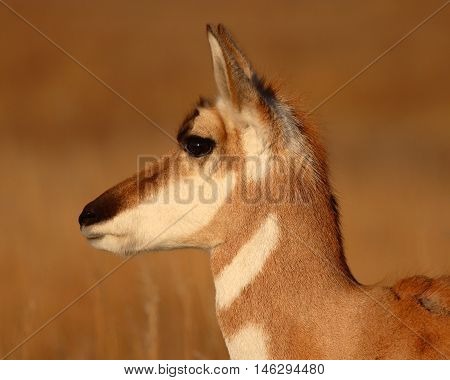 A Portrait Of A Pronghorn Antelope During Late Winter In South Dakota