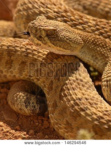 A Rattlesnake Showing The Fork Of Its Tongue In Colorado