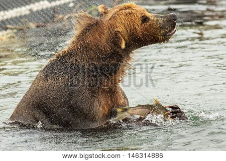 Brown bear with prey in its claws shakes off water on Kurile Lake. Southern Kamchatka Wildlife Refuge in Russia.