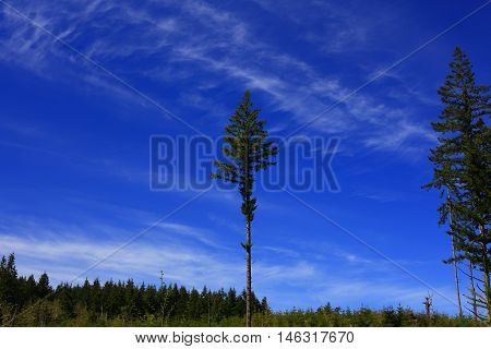 a picture of an exterior Pacific Northwest forest with a clear cut  lone Douglas fir tree and cirrus clouds