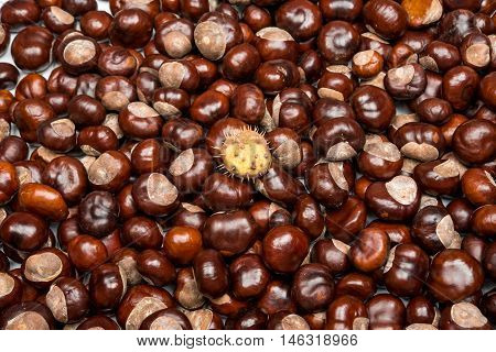 Close-up of chestnuts brown  toasted seed tree
