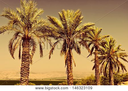Date Palms on the Shore of the Sea of Galilee in Israel at Sunset Vintage Style Toned Picture
